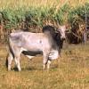 La domesticazione degli animali africani