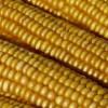 Lo stallo della Ricerca sul mais in Italia e la sua progressiva decadenza
