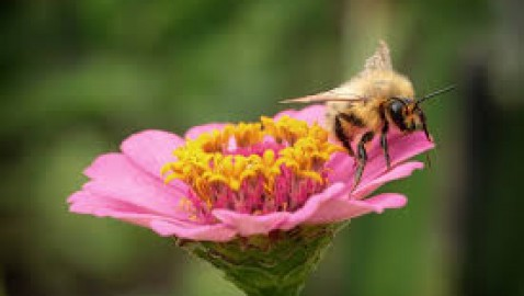 Sustainable agriculture in wetland areas: the role of pollinators