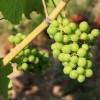 Il nome dei vitigni ibridi resistenti alle malattie fungine: un rischio da non sottovalutare per la viticoltura italiana