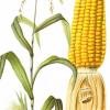 La storia è cominciata con il miglioramento genetico delle piante. Non solo la storia dell'agricoltura.