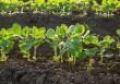 Persistere nel divieto di sperimentazione degli OGM è sconsiderato