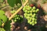 Uva e vino: il punto sull'impatto del global warming sulla produzione e le qualità nutrizionali per la salute