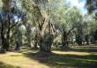 Non uccidiamo l'olivo immortale