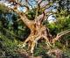 Il platano di Curinga vice campione europeo al concorso per l'albero monumentale del 2021