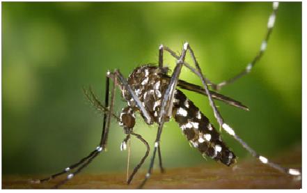 Zanzara tigre 1