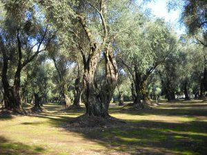 Albero ulivo
