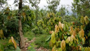 Piantagione-di-cacao1